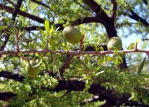 Odkud se vzal arganový olej?